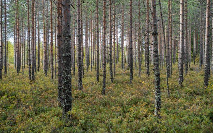 Kuvassa kaunis metsämaisema, mäntymetsää jonka juurella varvikkoa.
