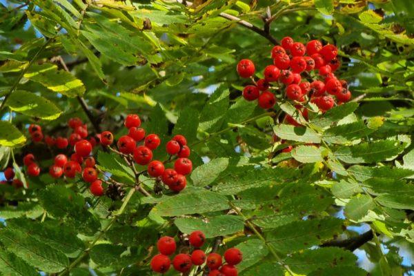 pihlajanmarjoja puussa
